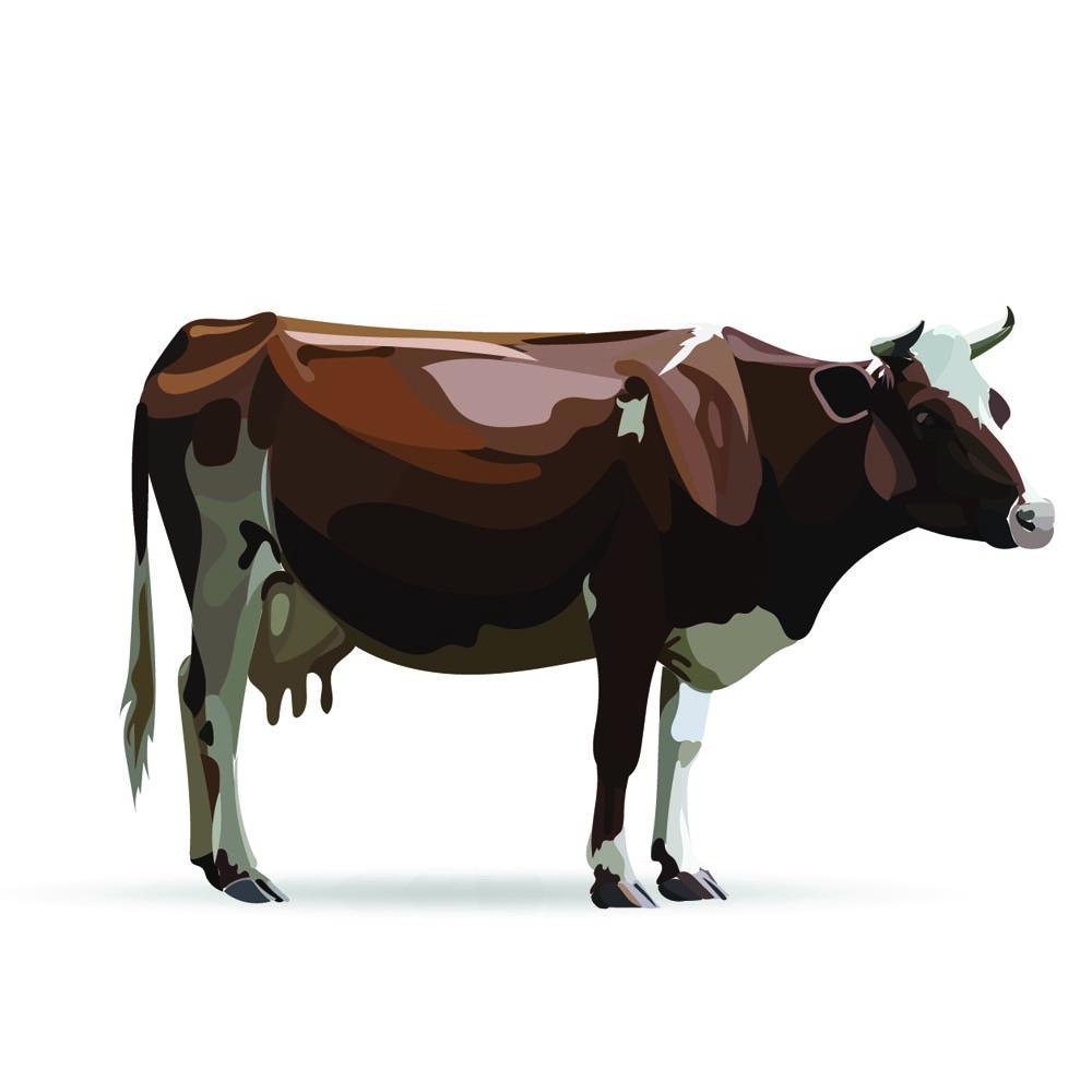 disegno bovino adulto scaccabarozzi